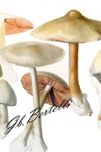 Volvopluteus gloiocephalus